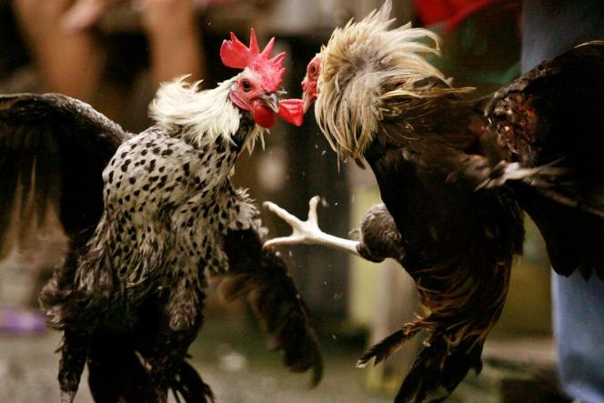 Judi ayam petarung